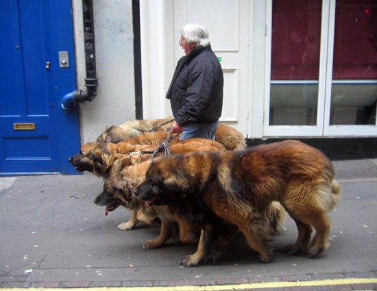 massive dogs - st bernards??