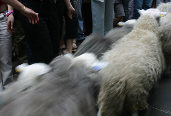 sheep-gopast.jpg